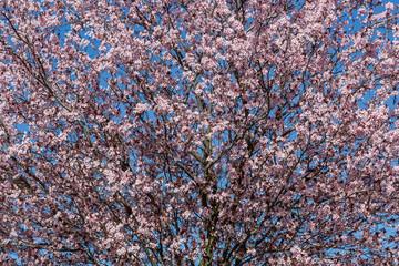 Árbol con flores rosas en primavera. Prunus cerasifera. Ciruelo de jardín. Cerezo ornamental.