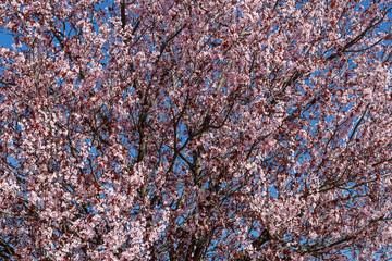 Prunus cerasifera. Ciruelo de jardín. Cerezo ornamental. Árbol con flores rosas en primavera.