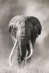 Giant tusked bull elephant in Amboseli, Kenya