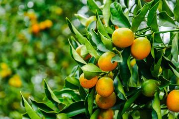 Kumquat fruit on tree