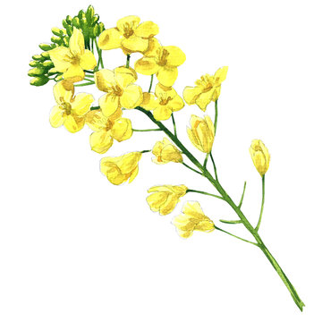 Rape blossom, flowering rapeseed canola or colza, blooming brassica napus flower, plant for oil industry and green energy, isolated, hand drawn watercolor illustration on white background