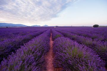 Wall Murals Cappuccino lavender field france
