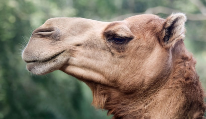 Tuinposter Kameel A Close Up of the Head of a Dromedary or Camel