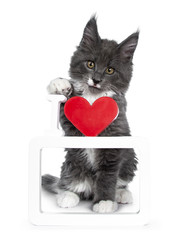 Lovely cute blue with white markings Maine Coon cat kitten, sitting behind I love you photo frame. Looking at lens with alert brown eyes. Isolated on white background.