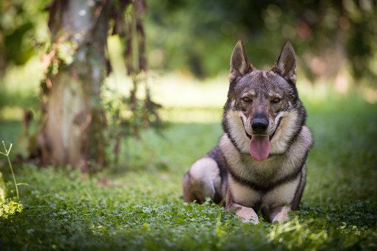 Wolfdog Portraits