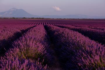Garden Poster Lavender lavender field france