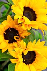 Fotobehang Zonnebloem Bouquet of flowering sunflowers