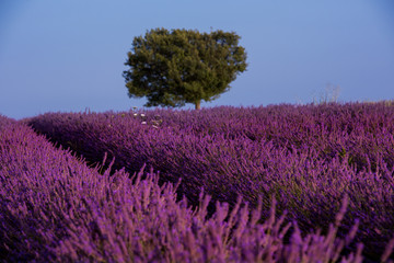 Poster Crimson lonely tree at lavender field