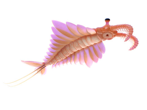 3d rendered illustration of an Anomalocaris