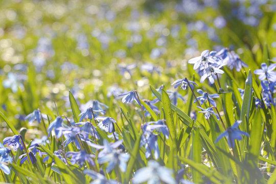 Blaue Blumen in der Frühlingswiese - Blaustern