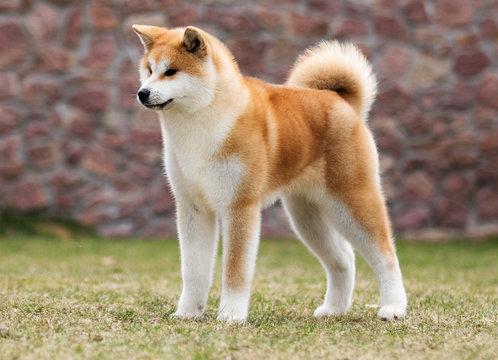 Japanese Akita Inu dog for a walk