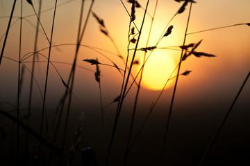 Grains before sunset