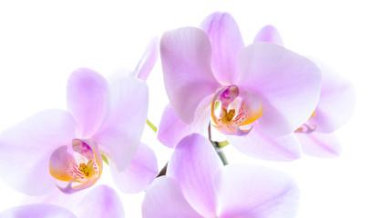 Prächtige pinke Phalaenopsis Orchidee isoliert vor weißem Hintergrund mit Textfreiraum
