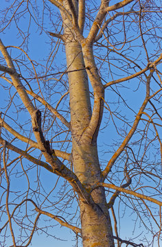 Branches of aspen