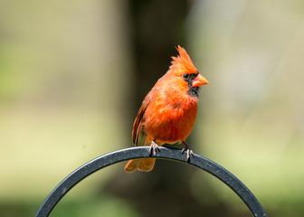 Fototapete - cardinal on a fence