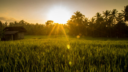 rice field sunrise