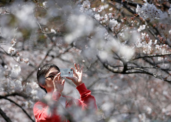 A man takes pictures of cherry blossoms in almost full bloom in Tokyo