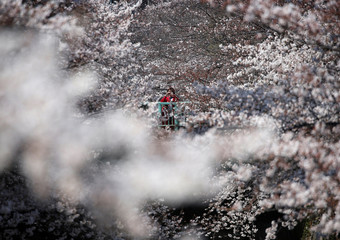 A woman takes pictures of cherry blossoms in almost full bloom in Tokyo