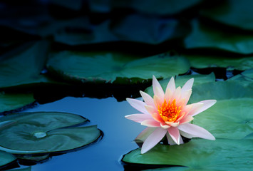 Photo sur Plexiglas Nénuphars lotus flower in pond, close-up water lily and leaf, close-up flower in nature