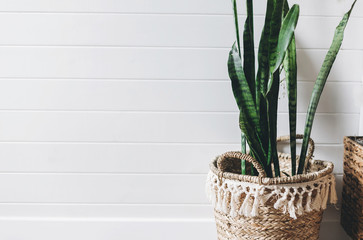 Stylish green plant sansevieria in straw pot on background of white rustic wall, copy space. Modern room decor, boho bedroom. Plant in wicker basket