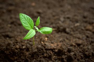 Fototapeta Kiełkująca roślina z ziemi obraz
