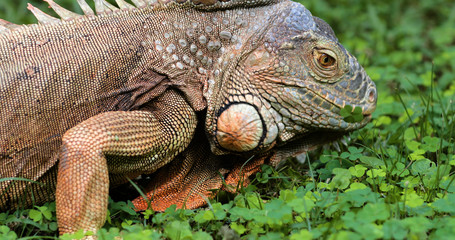 Iguana close-up in the grass, South Africa