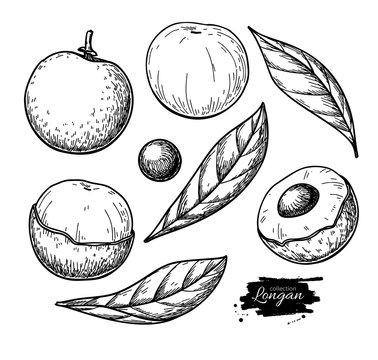 Longan vector drawing set. Hand drawn tropical fruit illustration. Engraved summer fruit.