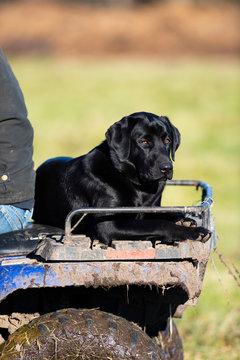 A BLack Labrador Retriever on an ATV on a Minnesota Farm