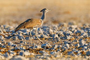 Fotomurales - Kori bustard, Ardeotis kori, largest flying bird native to Africa. Bird in the stones desert, evening light, Etocha, Namibia. Wildlife scene from African nature. Bird in the grass habitat.