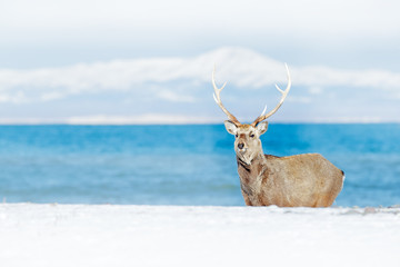 Wildlife scene from snowy nature. Hokkaido sika deer, Cervus nippon yesoensis, in the coast with dark blue sea, winter mountains in the background, animal with antlers in the nature habitat, Japan.