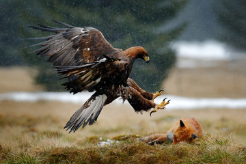 Fototapete - Golden Eagle feeding on kill Red Fox in the forest during rain and snowfall. Bird behaviour in the nature. Behaviour scene with brown bird of prey, eagle with catch, Poland, Europe.
