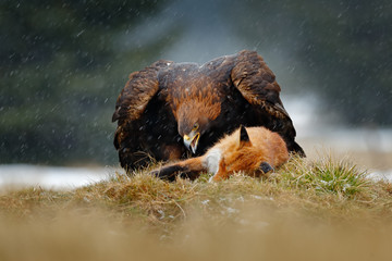 Wall Mural - Golden Eagle feeding on kill Red Fox in the forest during rain and snowfall. Bird behaviour in the nature. Behaviour scene with brown bird of prey, eagle with catch, Poland, Europe.