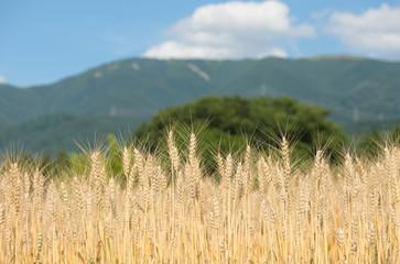 松本市中山の小麦畑