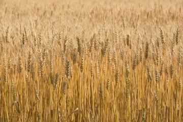 麦秋の小麦畑