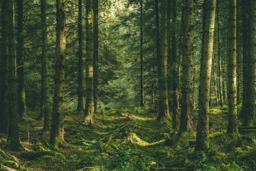 Fototapeta Welsh Forest