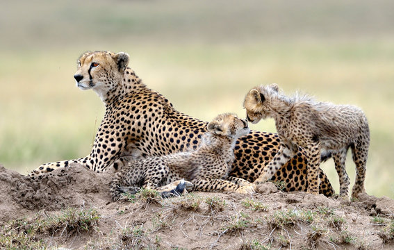 Cheetah mom and her puppies