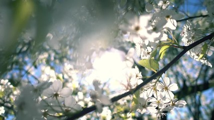 Wall Mural - Flowering tree. Spring sun shining through beautiful white flowers bloom blossoms. Shallow DOF, closeup.