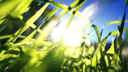 Wall Mural - Sun shining through fresh green grass, ground shot, closeup. 4K UHD.