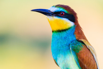 bee-eater golden close-up portrait
