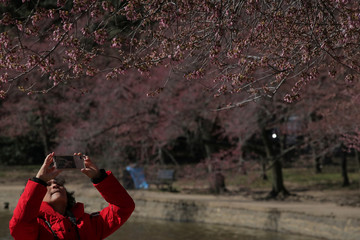 A woman photographs buds as they begin to show on cherry blossom trees near the Tidal Basin in Washington