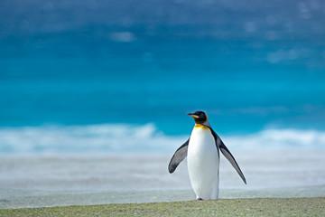 King penguin standing on beach