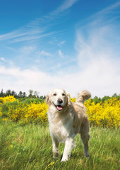 Cute dog on a meadow in the summer