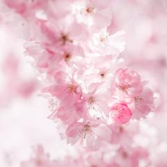 Fototapeta Cherry blossom in springtime
