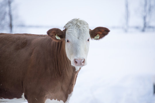 Cows in snow in the tyrol alps.