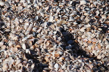 shells of the cockle sea animals in piles on the beach of Monster in The Netherlands