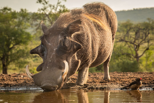 Common Warthog drinking water