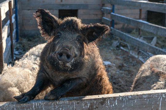 Mangalica a Hungarian breed of domestic pig on the farm