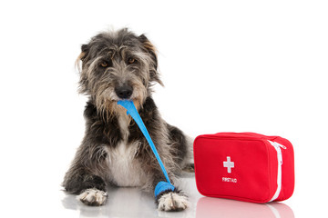 SICK DOG. INJURED AND FUNNY BLACK PUPPY LYING DOWN BITTING AND REMOVING A BLUE BANDAGE OR ELASTIC BAND ON FOOT AND A EMERGENCY  OR FIRT AID KIT.