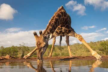 Southern giraffe drinking water