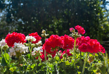 White and red geraniums